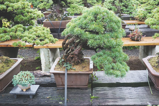 Bonsai Bonsaiya Abe Fukushima City (11)